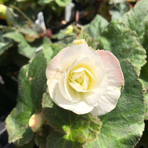 Begonia 'Nonstop Appleblossom'