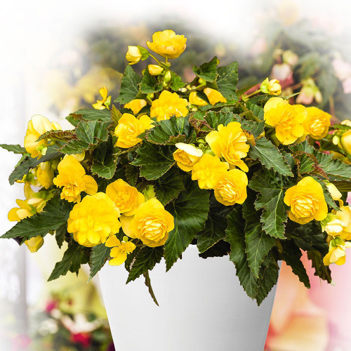 Begonia 'Nonstop Yellow Red Back'