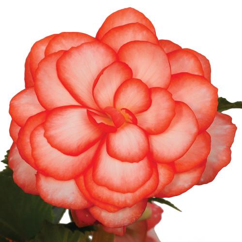 Begonia 'On Top Fandango'