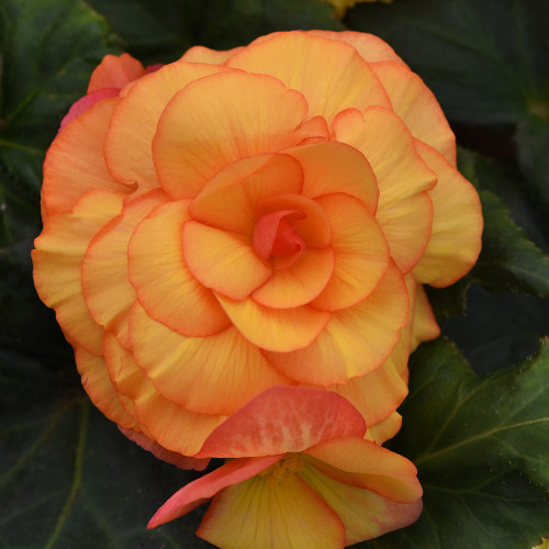 Begonia 'On Top Sun Glow'
