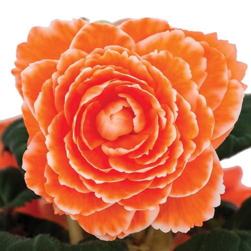 Begonia 'Picotee White Pink'