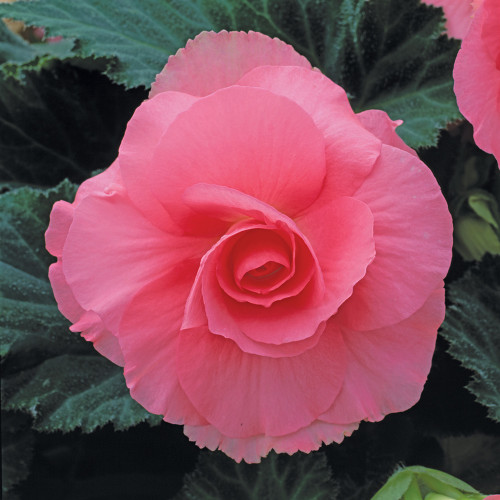 Begonia 'Roseform Rose'