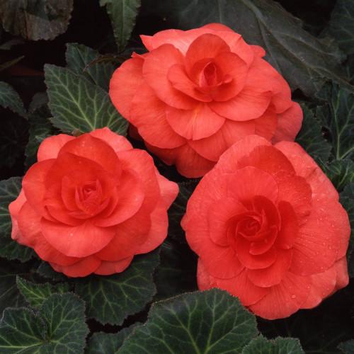 Begonia 'Roseform Salmon'