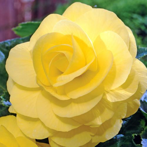 Begonia 'Roseform Yellow'