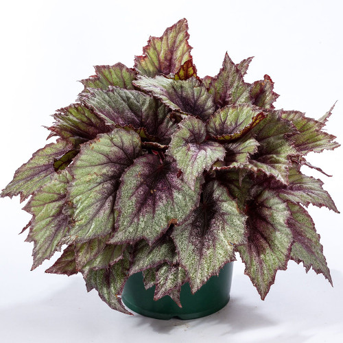 Begonia 'Shadow King Rose Frost'