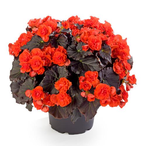 Begonia 'Solenia Orange Chocolate'