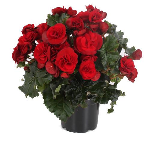 Begonia 'Solenia Velvet Red'