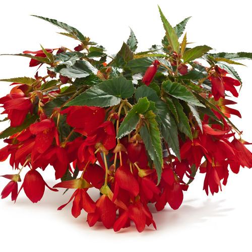 Begonia 'Waterfalls Encanto Red'