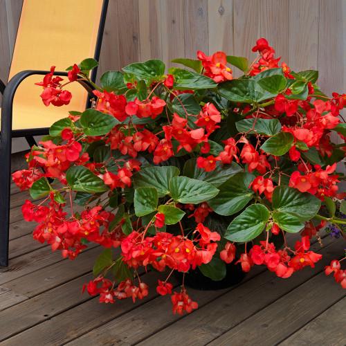 Begonia 'Whopper Red w/ Green leaf'