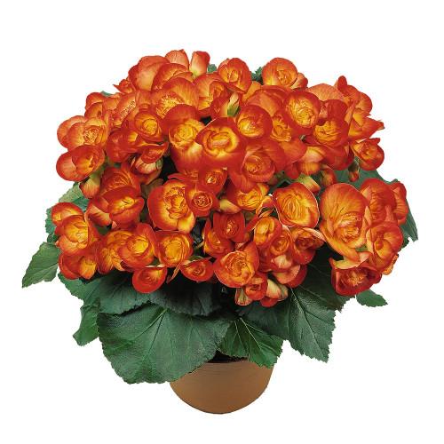 Begonia X hiemalis 'Carneval'
