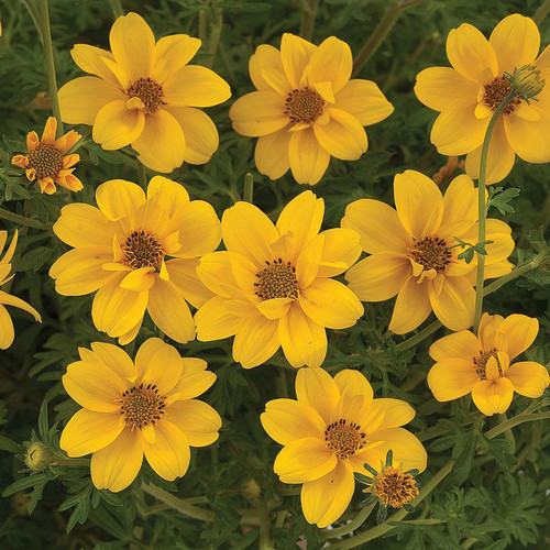 Bidens 'Yellow Crown'