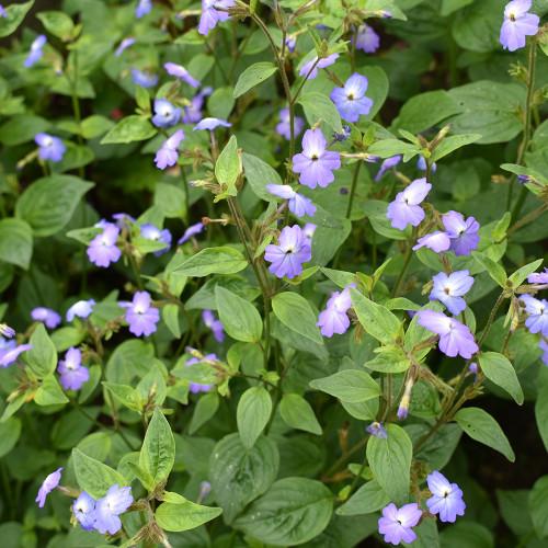 Browallia 'Cascade Sky Blue'