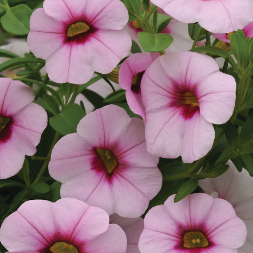 Calibrachoa 'Neo Pink w/ Eye