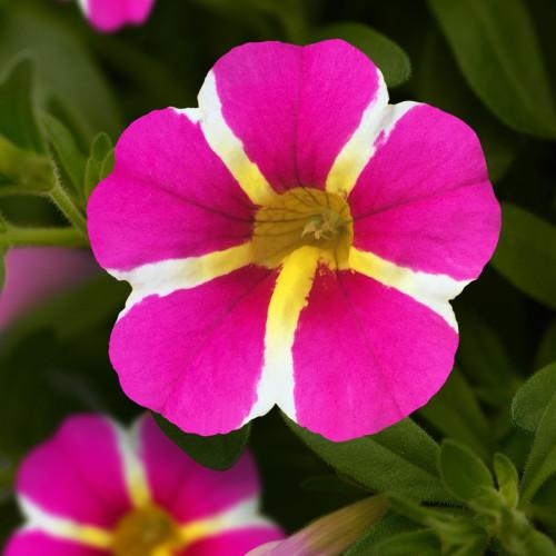 Calibrachoa 'Star Pink'