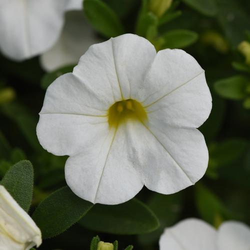 Calibrachoa 'White Improved'