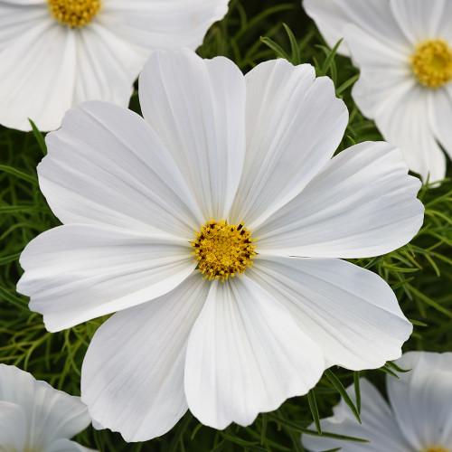 Cosmos 'Sonata White'