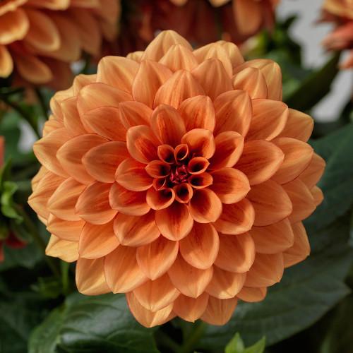 Dahlia 'Grandalia Orange'