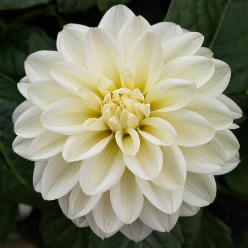 Dahlia 'Grandalia White'