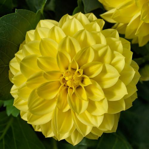 Dahlia 'Grandalia Yellow'