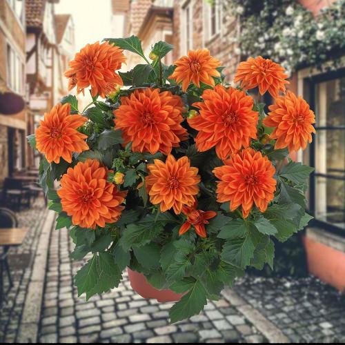 Dahlia 'Hypnotica Orange'