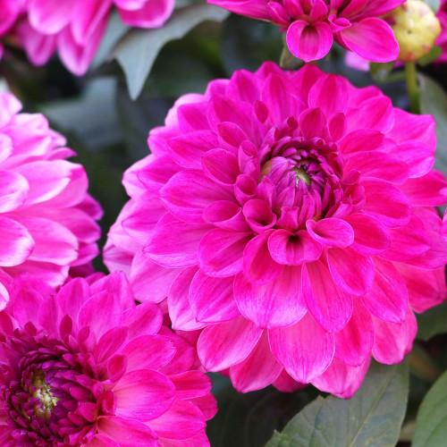 Dahlia 'Hypnotica Pink Bicolor'