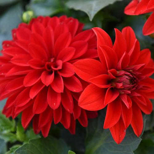 Dahlia 'Hypnotica Red Velvet'