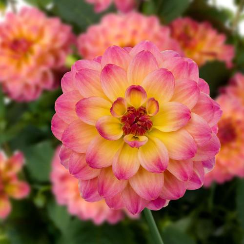Dahlia 'Hypnotica Rose Bicolor'
