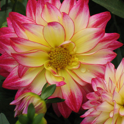 Dahlia 'Hypnotica Tropical Breeze'