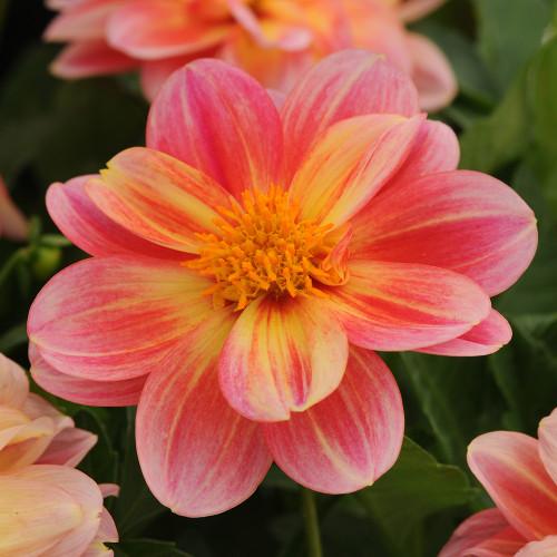 Dahlia 'Pink and Lemon'