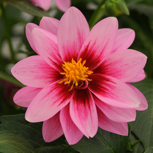 Dahlia 'Pink with Rose Eye'