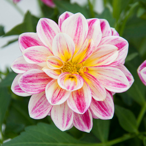 Dahlia 'Pink with Yellow Eye'