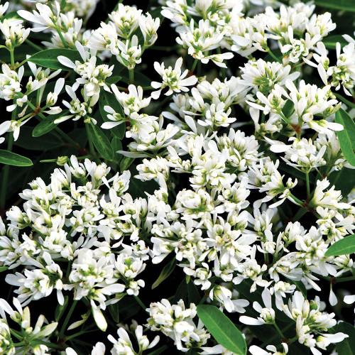 Euphorbia 'Starblast Snowdrift'