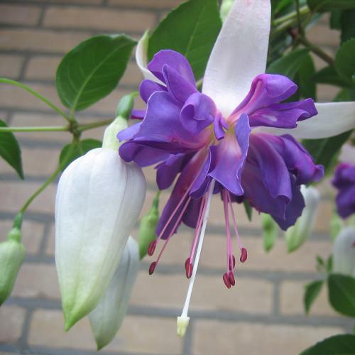 Fuchsia 'Blue Angel'