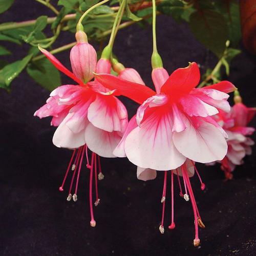 Fuchsia 'El Camino'