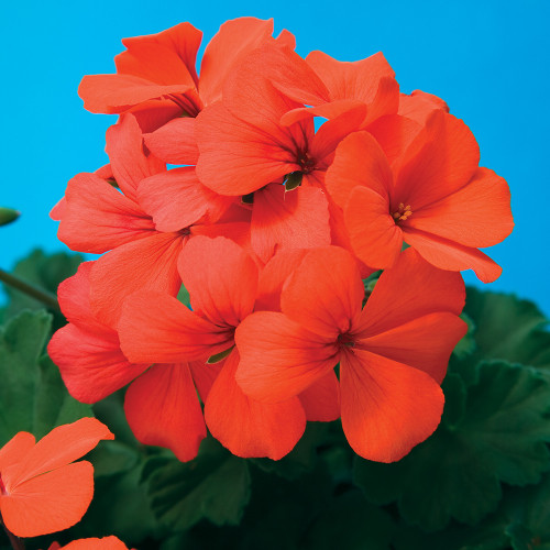 Geranium 'Caliente Orange'