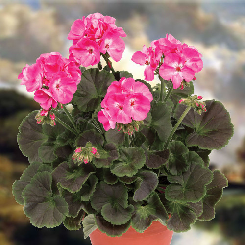 Geranium 'Chocolate Dragon Fruit'