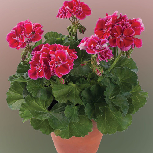 Geranium 'Darko Spanish Wine Burgundy'