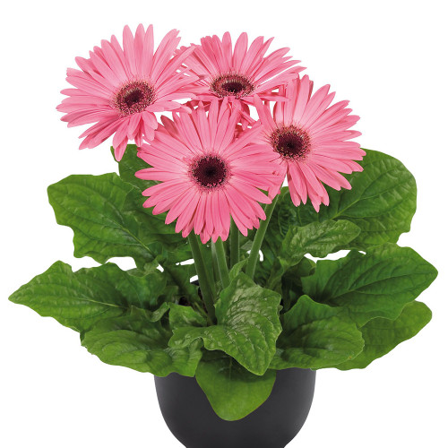 Gerbera ' Flormaxi Pink with Dark Eye'