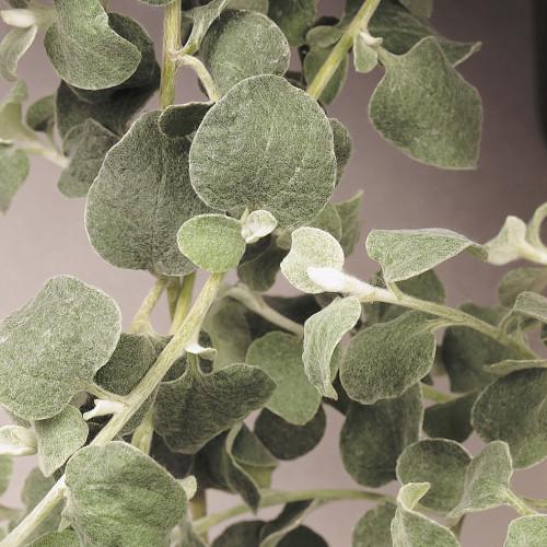 Helichrysum 'Licorice'