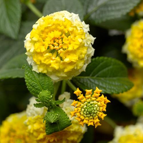 Lantana 'Bandana Lemon Zest'