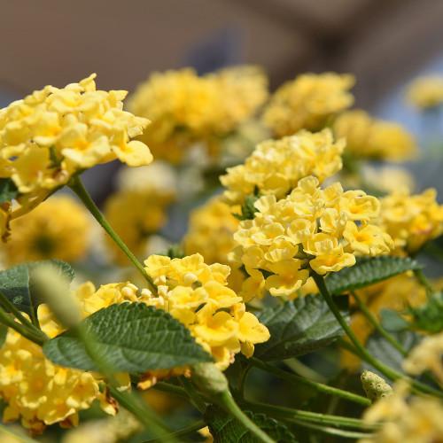Lantana 'Chapel Hill Yellow'