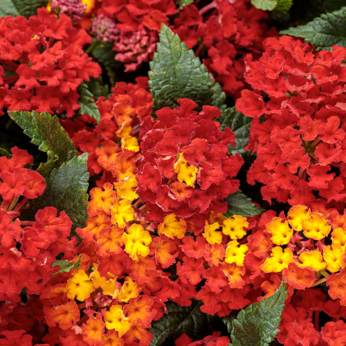 Lantana 'Luscious Royale Red Zone'