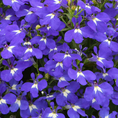 Lobelia 'Hot Brilliant Blue'