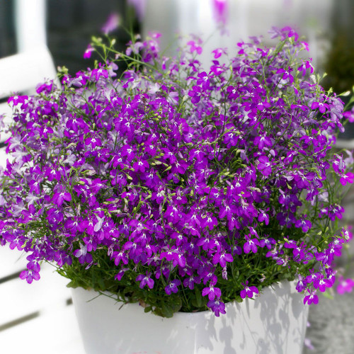 Lobelia 'Hot Purple'