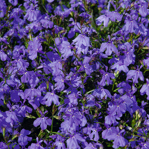 Lobelia 'Magadi Basket Dark Blue'