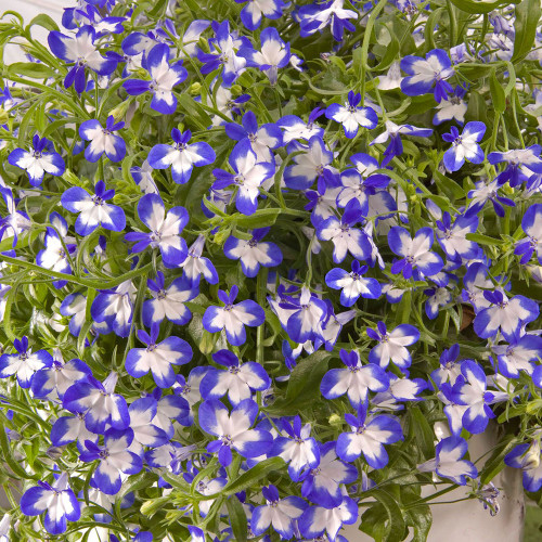 Lobelia 'Star Superstar'