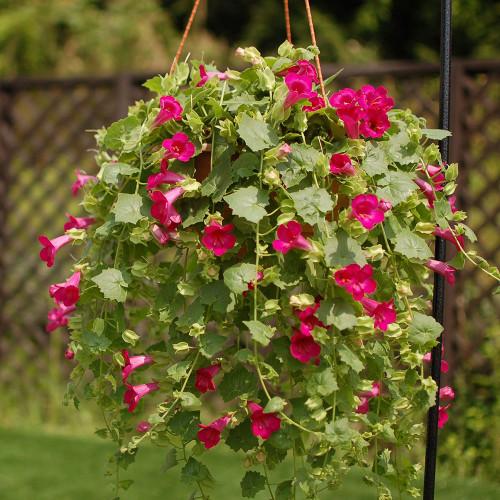 Lophospermum 'Lofos Compact Rose'