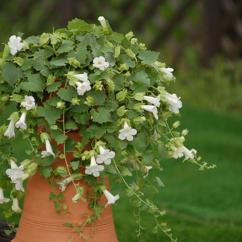 Lophospermum 'Lofos Compact White'