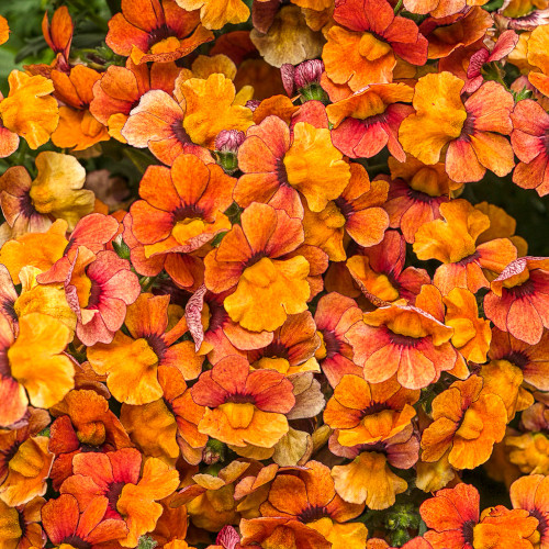 Nemesia 'Sunsatia Blood Orange'