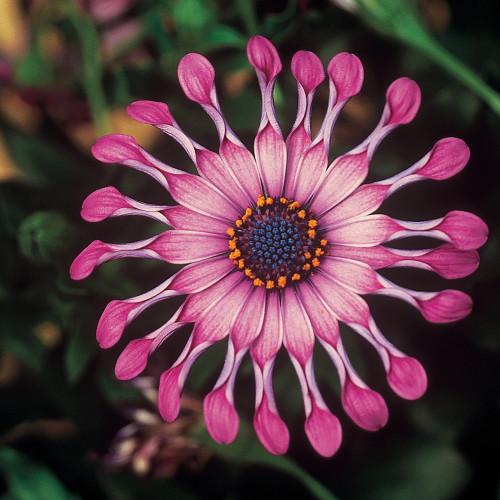 Osteospermum ' Flowerpower Light Pink'